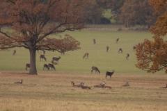 Windsor-deer-park